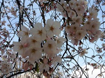 Sakura090331_2