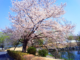 Tamabisakura090407_1